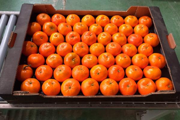 exportacion-naranjas-valencia-11